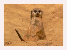 Free Meerkat Taking A Sunbath Royalty Free Stock Image - 1429706