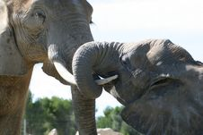 Free Embracing Elephants Royalty Free Stock Photos - 1429858