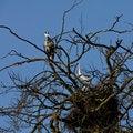 Free Grey Heron Bird Couple Sitting On The Nest Stock Photography - 14200382