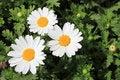 Free White Chrysanthemums Stock Photo - 14203450