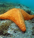 Free Starfish Royalty Free Stock Photo - 14208205