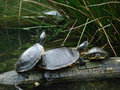 Free Turtles On A Log Stock Images - 14208324