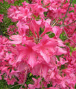 Free Rhododendron Close-up Royalty Free Stock Images - 14209389