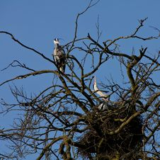 Free Grey Heron Bird Couple Sitting On The Nest Stock Photography - 14200382