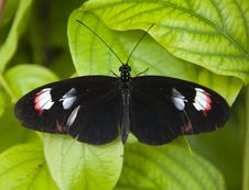 Small Black Butterfly Royalty Free Stock Image