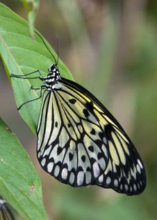 Free Yellow And Black Butterfly Stock Photography - 14200522