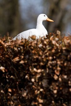 Free White Duck Sitting In A Hedge Royalty Free Stock Photo - 14200545