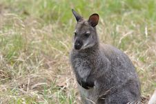 Free Wallaby Stock Images - 14201084