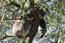Free Koala On A Tree Royalty Free Stock Images - 14201249
