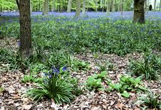 Free Bluebell Woods Stock Images - 14201414