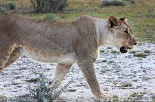 Free Wild Lioness Stock Images - 14202064