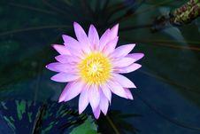 Free Lotus Royalty Free Stock Photography - 14202287