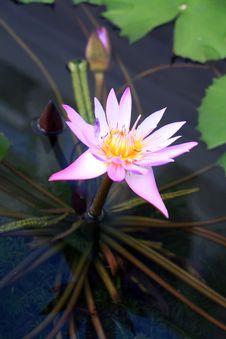 Free Lotus Stock Photography - 14202312