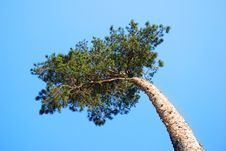 Top Pine Royalty Free Stock Images