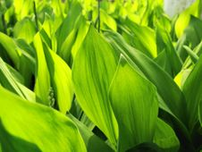 Free Dense Leaves Of A Lily Of The Valley Royalty Free Stock Photography - 14202627