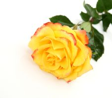 Free Yellow Rose Royalty Free Stock Photography - 14202887