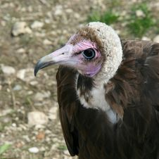 Free Vulture Royalty Free Stock Photos - 14203058