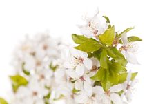 Free Plum Tree On Spring Time Stock Image - 14203251