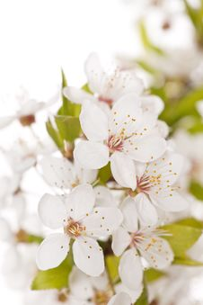 Free Plum Tree On Spring Time Stock Photography - 14203272