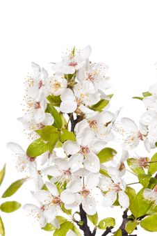 Free Plum Tree On Spring Time Stock Images - 14203314