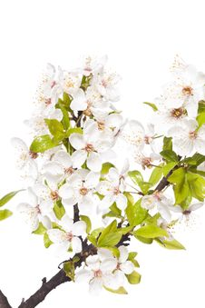 Free Plum Tree On Spring Time Stock Photography - 14203332