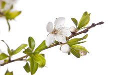 Free Plum Tree On Spring Time Stock Photography - 14203362
