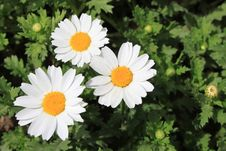 White Chrysanthemums Stock Photo