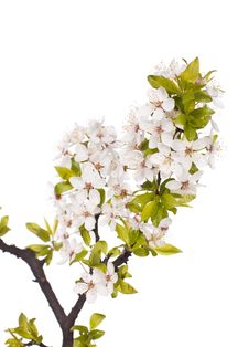 Free Plum Tree On Spring Time Stock Image - 14203511