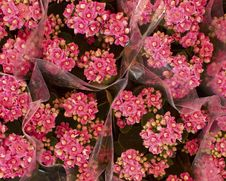 Free Pink Kalanchoe Bouquets Royalty Free Stock Photos - 14203528