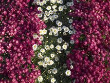 Free White & Fuchsia Daisies Stripes Stock Image - 14203611