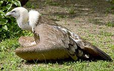 Free Eurasian Griffon 8 Royalty Free Stock Photo - 14204035