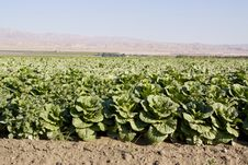 Free Cabbage Field Stock Image - 14205101