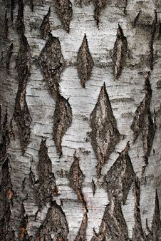 Free Birch Tree Bark Background Royalty Free Stock Images - 14205839