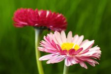 Free Daisy Royalty Free Stock Photography - 14205957