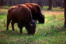 Free A Family Of Bison In A National Park Stock Image - 14206081