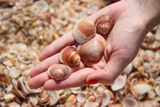 Free Shells Royalty Free Stock Photo - 14206135