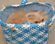 Free Persian Cat Stock Photography - 14206162