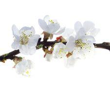 Free Plum-tree Flowers Royalty Free Stock Image - 14206346