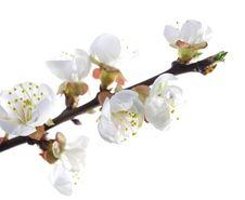 Free Plum-tree Flowers Stock Images - 14206424