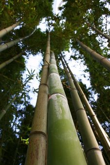 Free Bamboo Trees Royalty Free Stock Images - 14207159