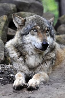 European Wolf - Canis Lupus Lupus Stock Photography