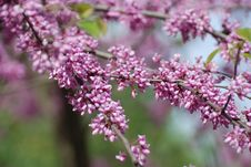 Free Pink Blossom Branch Royalty Free Stock Image - 14207376