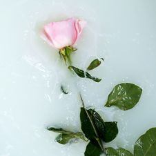 Free Rose In Water Royalty Free Stock Photography - 14208087