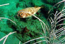 Free Balloonfish Stock Photos - 14208263