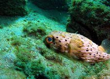 Free Balloonfish Royalty Free Stock Photography - 14208277