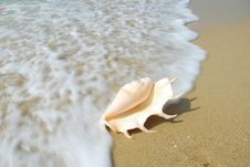 Free Conch Stock Photography - 14208482