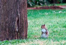 Free Red Squirrel Royalty Free Stock Images - 14208629