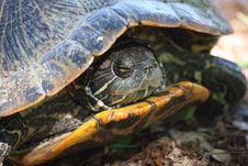Free Texas Tortoise Royalty Free Stock Photo - 14208745