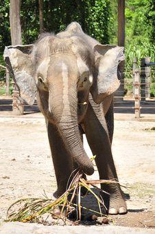 Free Elephant Having It S Meal Royalty Free Stock Photos - 14208788