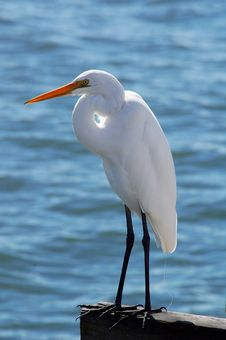 Free White Heron Stock Images - 14208804